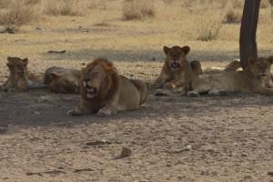 Tijdens uw reis met kinderen geregeld door Rondreismakelaar.nl komt u zomaar een leeuwenfamilie tegen!