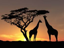 zuid-afrika-giraffes